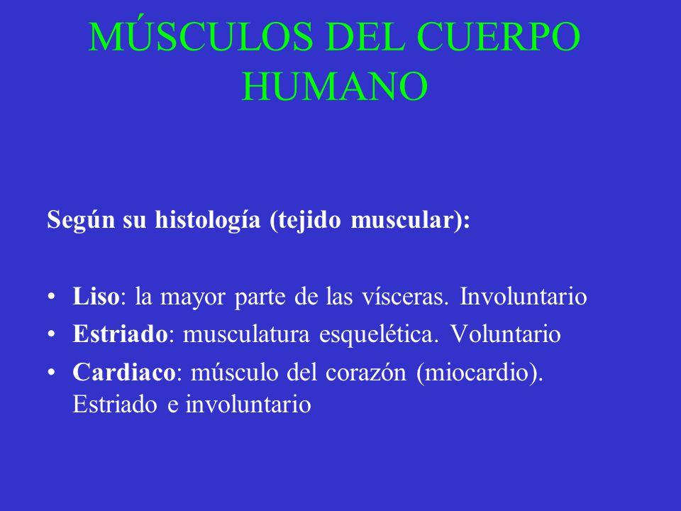 MÚSCULOS DEL CUERPO HUMANO Según su histología (tejido muscular): Liso: la mayor parte de las vísceras. Involuntario Estriado: musculatura esquelética