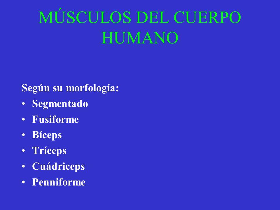 MÚSCULOS DEL CUERPO HUMANO Según su morfología: Segmentado Fusiforme Bíceps Tríceps Cuádriceps Penniforme