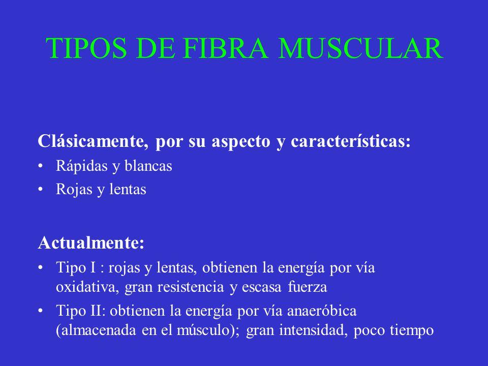 TIPOS DE FIBRA MUSCULAR Clásicamente, por su aspecto y características: Rápidas y blancas Rojas y lentas Actualmente: Tipo I : rojas y lentas, obtiene