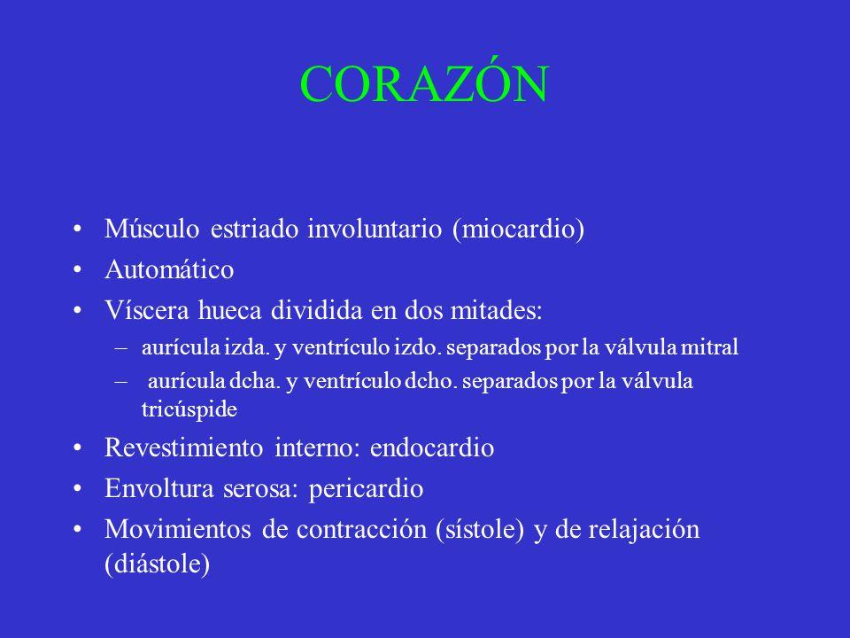 CORAZÓN Músculo estriado involuntario (miocardio) Automático Víscera hueca dividida en dos mitades: –aurícula izda. y ventrículo izdo. separados por l