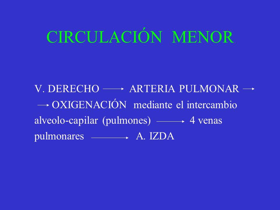 CIRCULACIÓN MENOR V. DERECHO ARTERIA PULMONAR OXIGENACIÓN mediante el intercambio alveolo-capilar (pulmones) 4 venas pulmonares A. IZDA