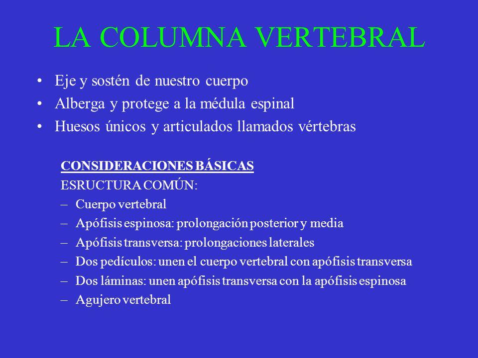 LA COLUMNA VERTEBRAL Eje y sostén de nuestro cuerpo Alberga y protege a la médula espinal Huesos únicos y articulados llamados vértebras CONSIDERACION
