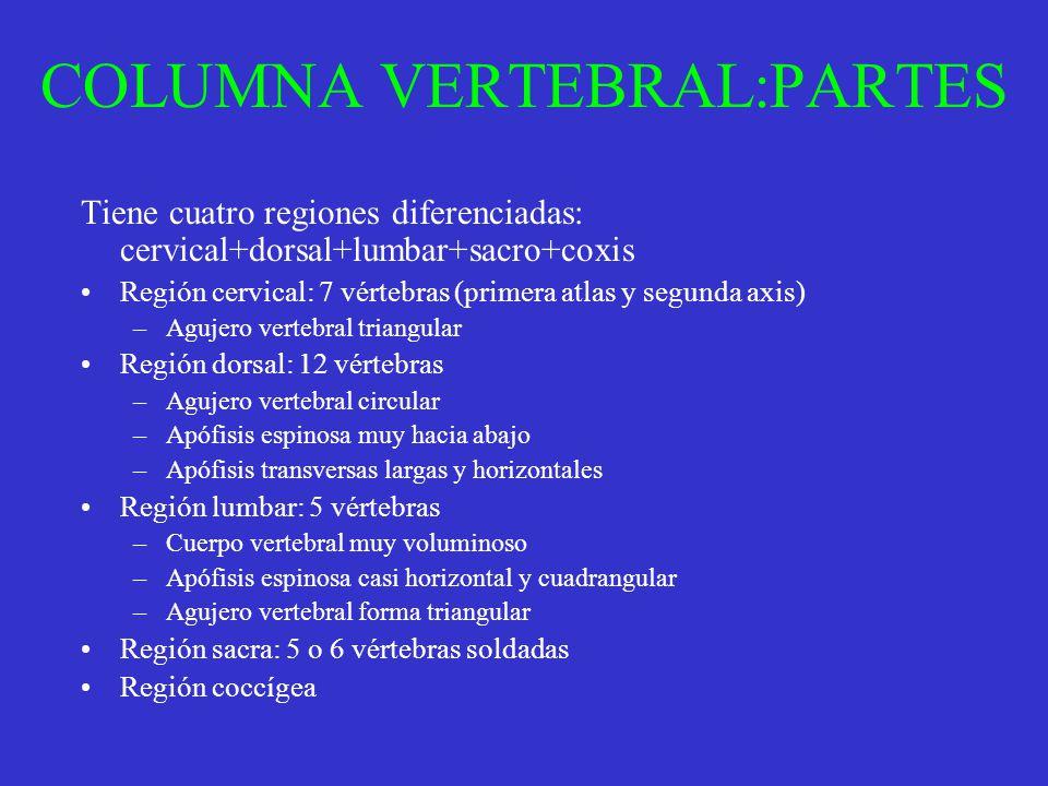 COLUMNA VERTEBRAL:PARTES Tiene cuatro regiones diferenciadas: cervical+dorsal+lumbar+sacro+coxis Región cervical: 7 vértebras (primera atlas y segunda