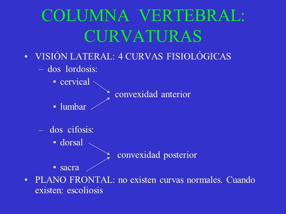 COLUMNA VERTEBRAL: CURVATURAS VISIÓN LATERAL: 4 CURVAS FISIOLÓGICAS –dos lordosis: cervical convexidad anterior lumbar – dos cifosis: dorsal convexida