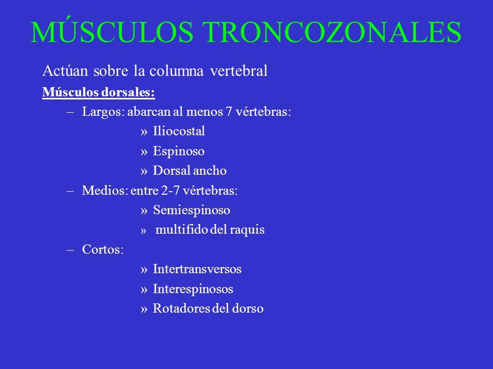 MÚSCULOS TRONCOZONALES Actúan sobre la columna vertebral Músculos dorsales: –Largos: abarcan al menos 7 vértebras: »Iliocostal »Espinoso »Dorsal ancho