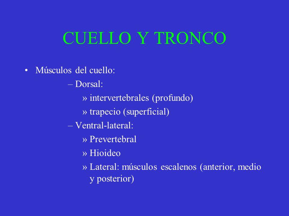 CUELLO Y TRONCO Músculos del cuello: –Dorsal: »intervertebrales (profundo) »trapecio (superficial) –Ventral-lateral: »Prevertebral »Hioideo »Lateral: