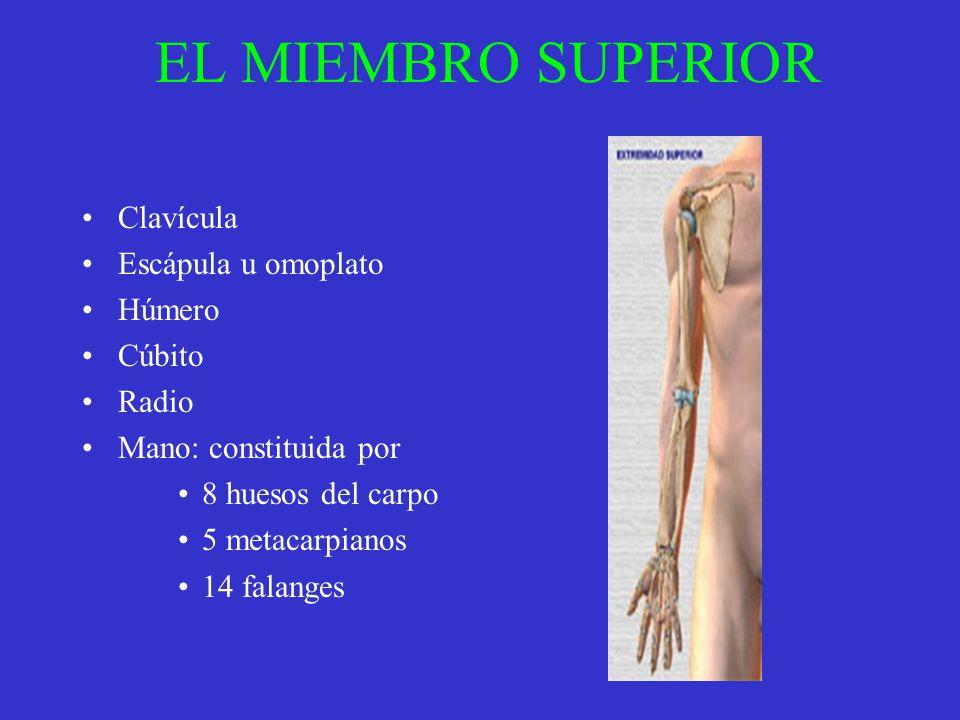 EL MIEMBRO SUPERIOR Clavícula Escápula u omoplato Húmero Cúbito Radio Mano: constituida por 8 huesos del carpo 5 metacarpianos 14 falanges