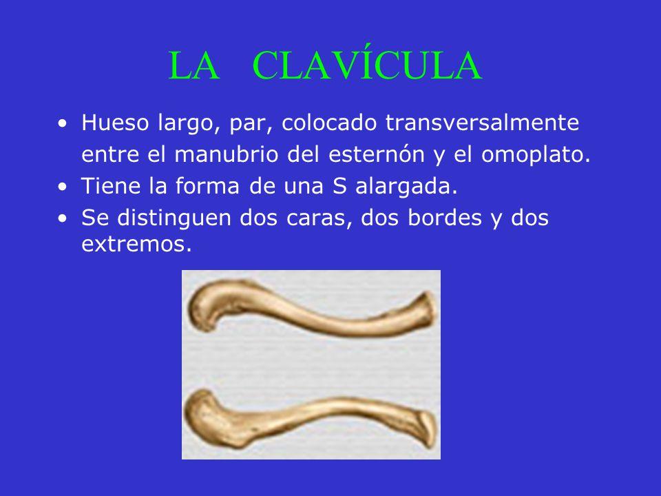 LA CLAVÍCULA Hueso largo, par, colocado transversalmente entre el manubrio del esternón y el omoplato. Tiene la forma de una S alargada. Se distinguen