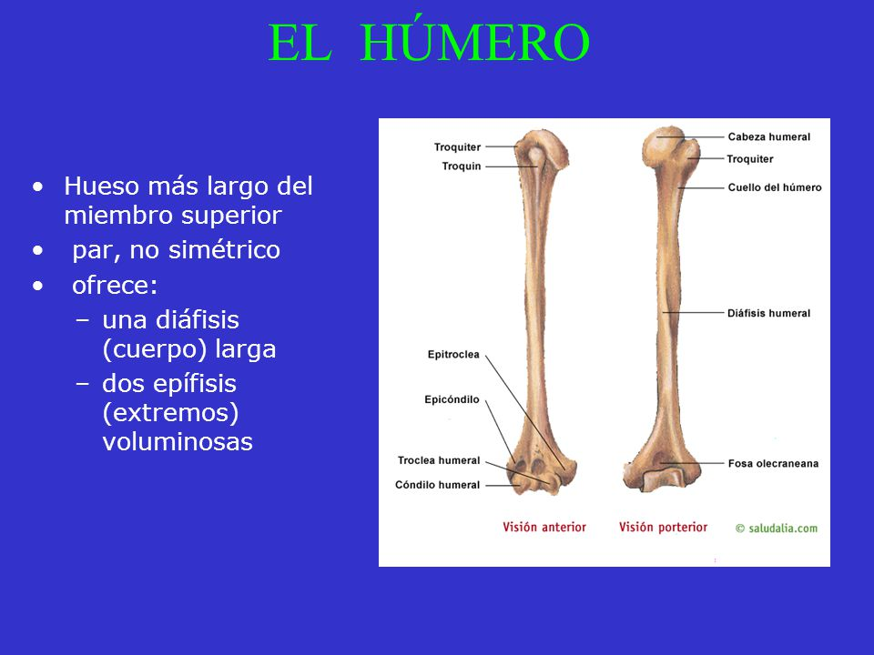 EL HÚMERO Hueso más largo del miembro superior par, no simétrico ofrece: –una diáfisis (cuerpo) larga –dos epífisis (extremos) voluminosas