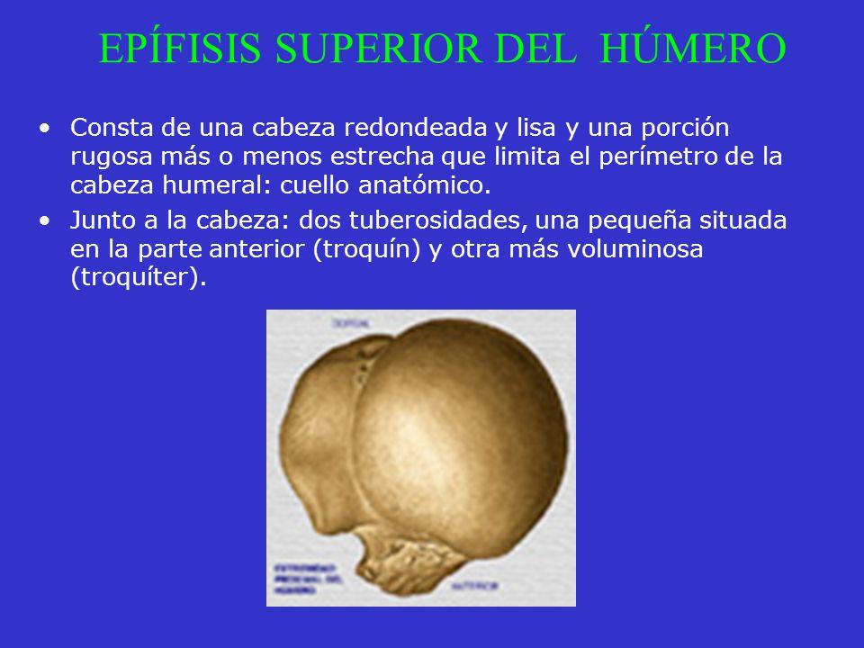 EPÍFISIS SUPERIOR DEL HÚMERO Consta de una cabeza redondeada y lisa y una porción rugosa más o menos estrecha que limita el perímetro de la cabeza hum