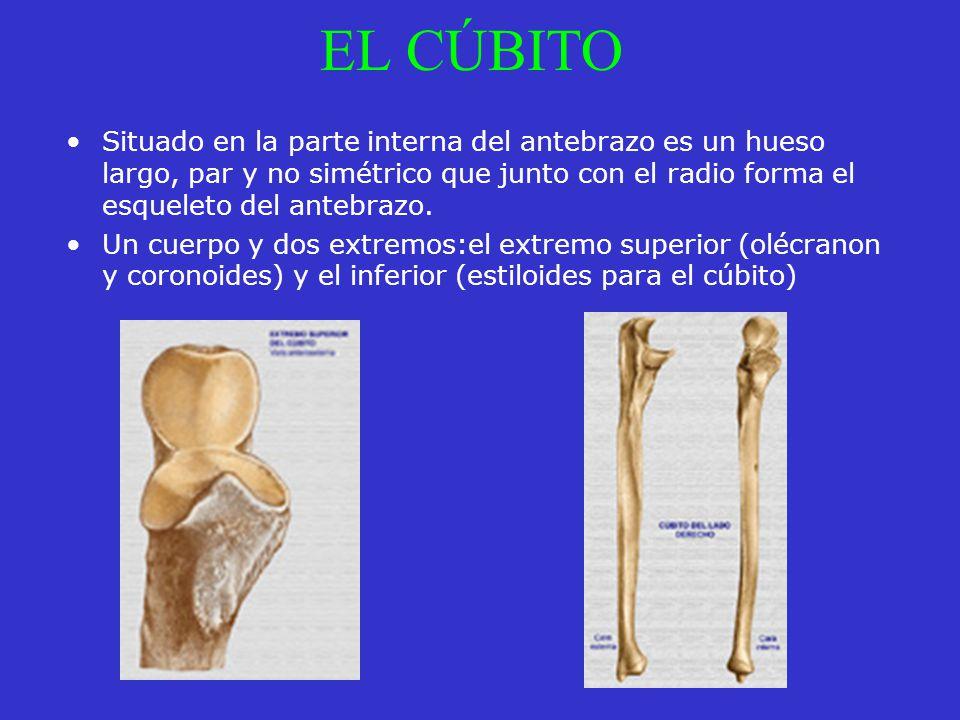 EL CÚBITO Situado en la parte interna del antebrazo es un hueso largo, par y no simétrico que junto con el radio forma el esqueleto del antebrazo. Un