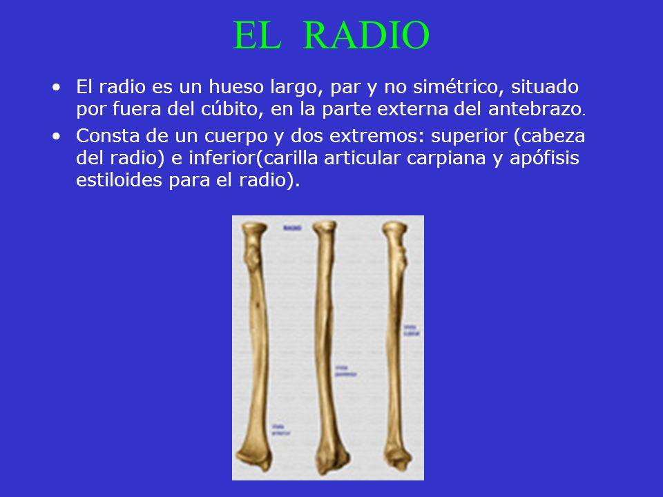 EL RADIO El radio es un hueso largo, par y no simétrico, situado por fuera del cúbito, en la parte externa del antebrazo. Consta de un cuerpo y dos ex