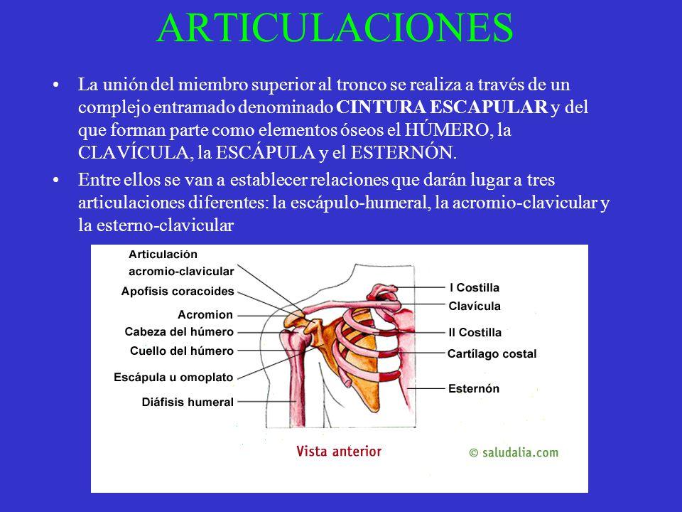 ARTICULACIONES La unión del miembro superior al tronco se realiza a través de un complejo entramado denominado CINTURA ESCAPULAR y del que forman part