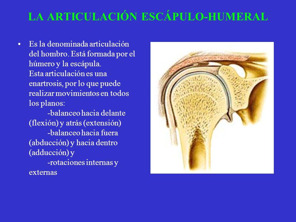 LA ARTICULACIÓN ESCÁPULO-HUMERAL Es la denominada articulación del hombro. Está formada por el húmero y la escápula. Esta articulación es una enartros