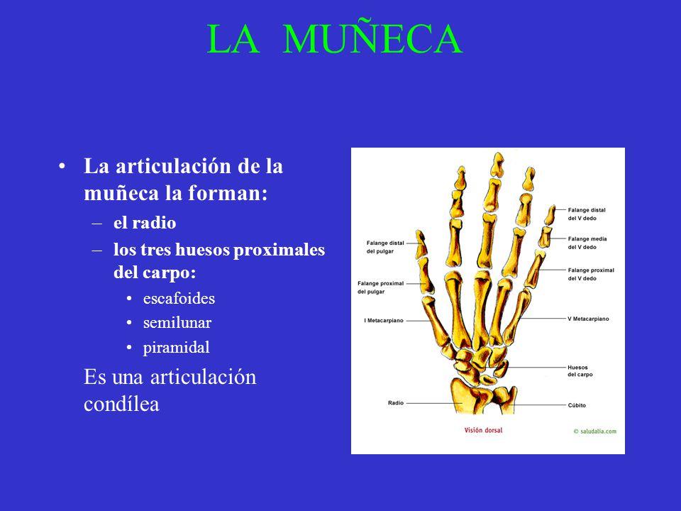 LA MUÑECA La articulación de la muñeca la forman: –el radio –los tres huesos proximales del carpo: escafoides semilunar piramidal Es una articulación