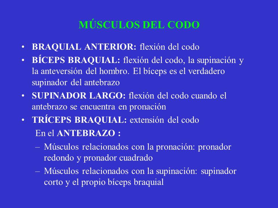 MÚSCULOS DEL CODO BRAQUIAL ANTERIOR: flexión del codo BÍCEPS BRAQUIAL: flexión del codo, la supinación y la anteversión del hombro. El bíceps es el ve