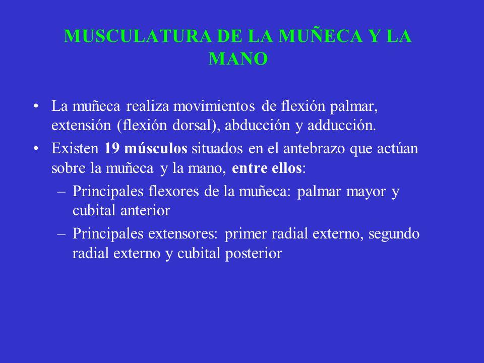 MUSCULATURA DE LA MUÑECA Y LA MANO La muñeca realiza movimientos de flexión palmar, extensión (flexión dorsal), abducción y adducción. Existen 19 músc