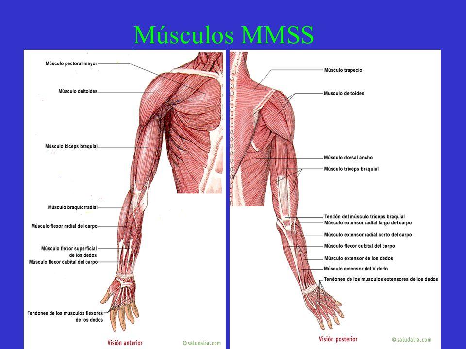 Músculos MMSS