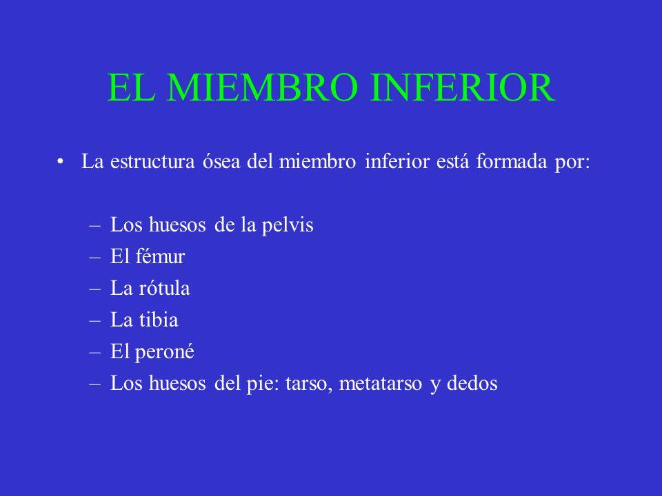 EL MIEMBRO INFERIOR La estructura ósea del miembro inferior está formada por: –Los huesos de la pelvis –El fémur –La rótula –La tibia –El peroné –Los