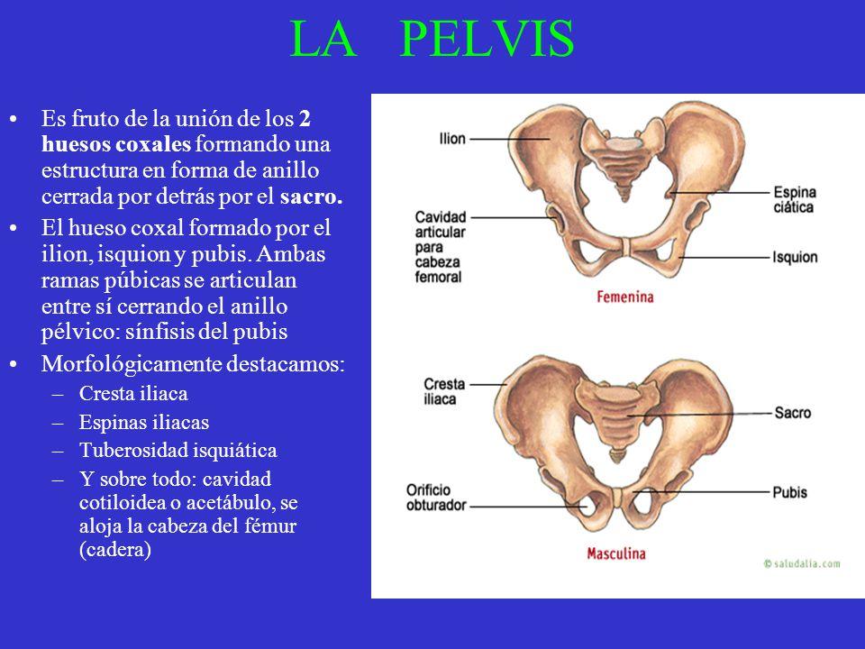 LA PELVIS Es fruto de la unión de los 2 huesos coxales formando una estructura en forma de anillo cerrada por detrás por el sacro. El hueso coxal form