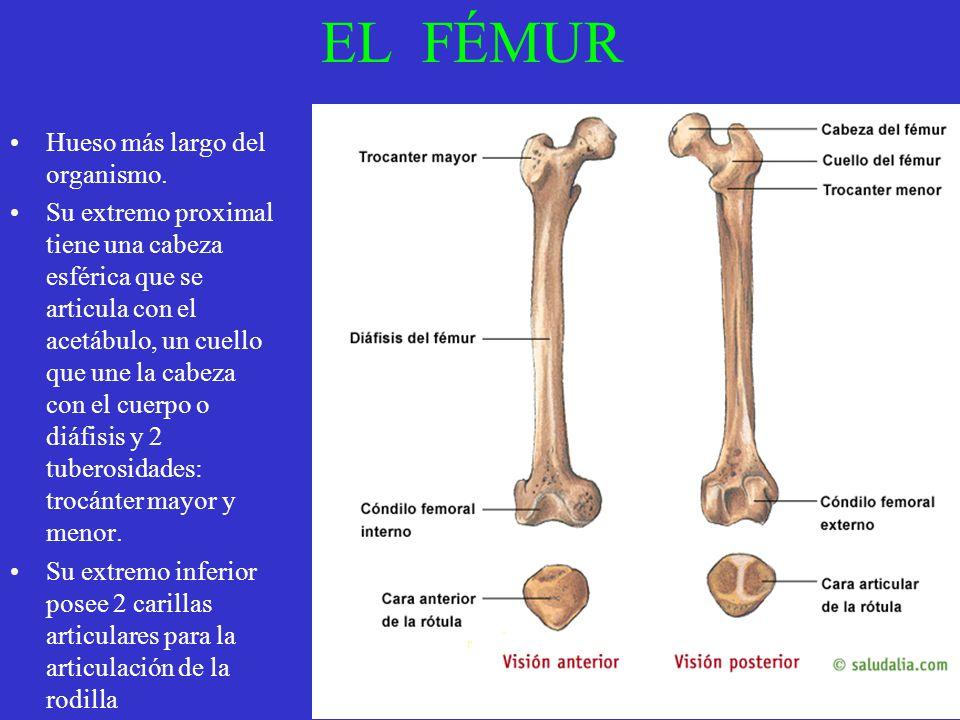 EL FÉMUR Hueso más largo del organismo. Su extremo proximal tiene una cabeza esférica que se articula con el acetábulo, un cuello que une la cabeza co