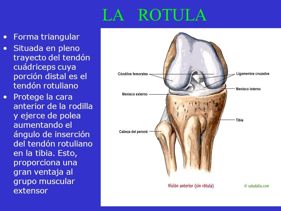 LA ROTULA Forma triangular Situada en pleno trayecto del tendón cuádriceps cuya porción distal es el tendón rotuliano Protege la cara anterior de la r