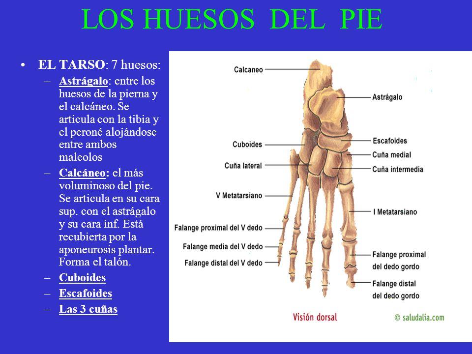 LOS HUESOS DEL PIE EL TARSO: 7 huesos: –Astrágalo: entre los huesos de la pierna y el calcáneo. Se articula con la tibia y el peroné alojándose entre