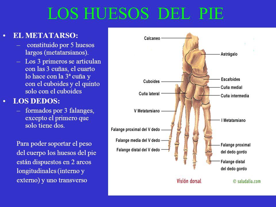 LOS HUESOS DEL PIE EL METATARSO: – constituido por 5 huesos largos (metatarsianos). –Los 3 primeros se articulan con las 3 cuñas, el cuarto lo hace co