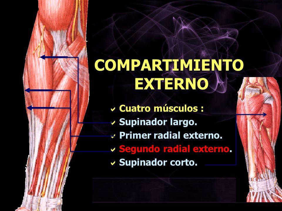 COMPARTIMIENTO EXTERNO Cuatro músculos : Cuatro músculos : Supinador largo. Supinador largo. Primer radial externo. Primer radial externo. Segundo rad
