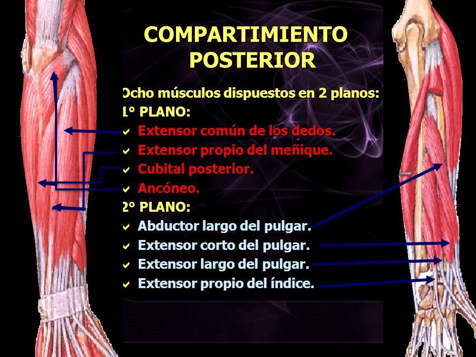 COMPARTIMIENTO POSTERIOR Ocho músculos dispuestos en 2 planos: 1° PLANO: Extensor común de los dedos. Extensor común de los dedos. Extensor propio del