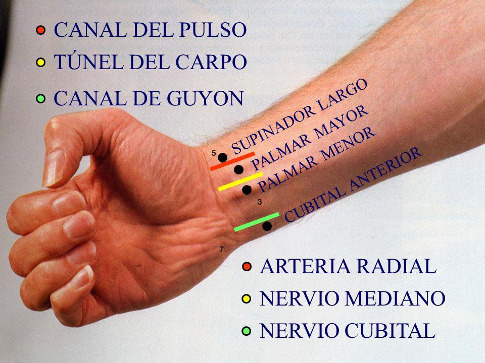 CANAL DEL PULSO TÚNEL DEL CARPO CANAL DE GUYON SUPINADOR LARGO PALMAR MAYOR PALMAR MENOR CUBITAL ANTERIOR ARTERIA RADIAL NERVIO MEDIANO NERVIO CUBITAL
