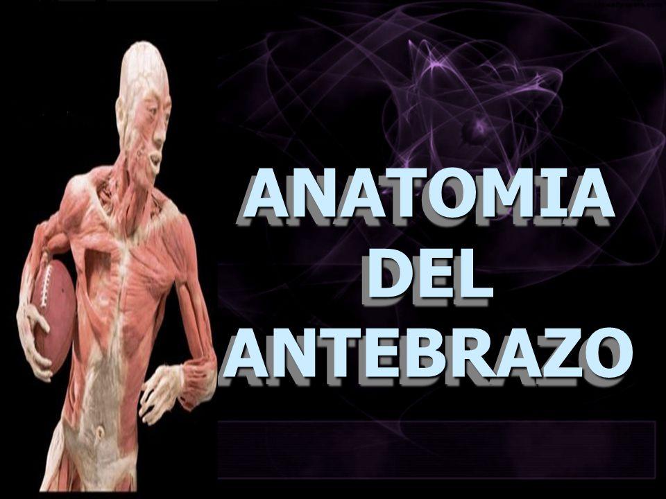ANATOMIADELANTEBRAZO ANATOMIA DEL ANTEBRAZO