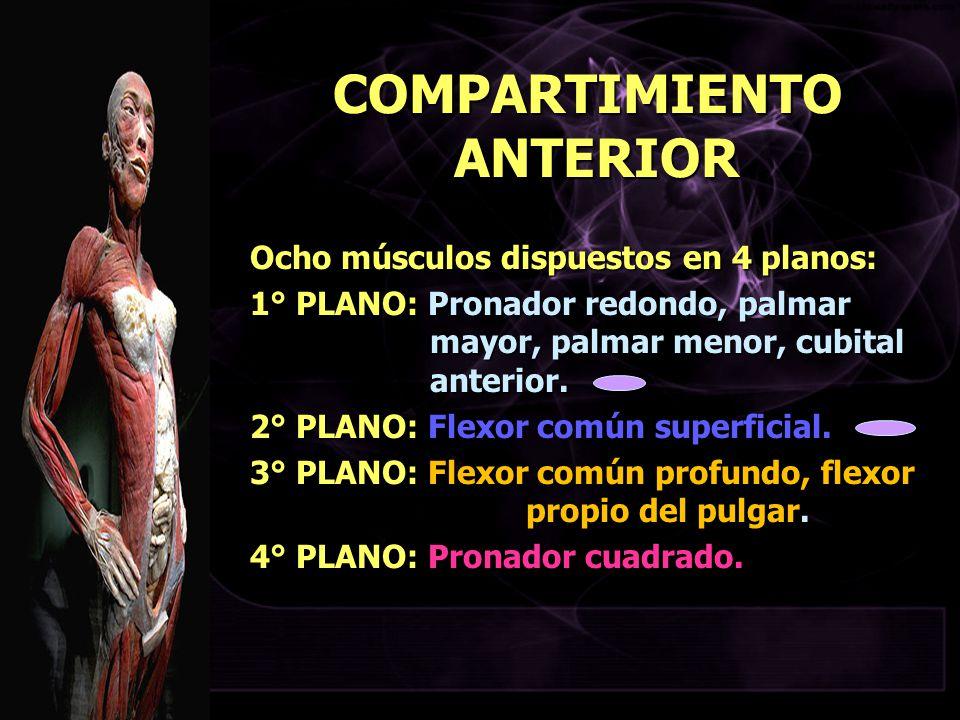 COMPARTIMIENTO ANTERIOR Ocho músculos dispuestos en 4 planos: 1° PLANO: Pronador redondo, palmar mayor, palmar menor, cubital anterior. 2° PLANO: Flex