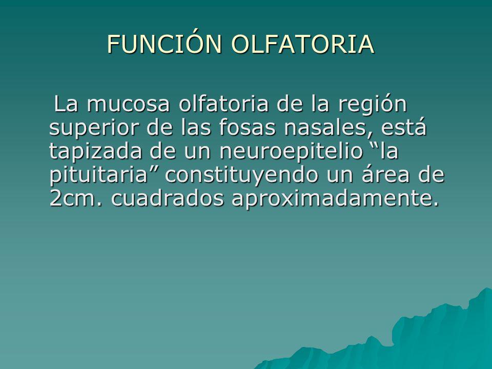 FUNCIÓN OLFATORIA La mucosa olfatoria de la región superior de las fosas nasales, está tapizada de un neuroepitelio la pituitaria constituyendo un áre