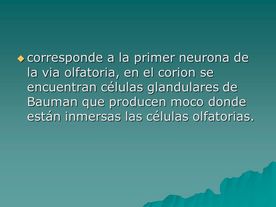 corresponde a la primer neurona de la via olfatoria, en el corion se encuentran células glandulares de Bauman que producen moco donde están inmersas l