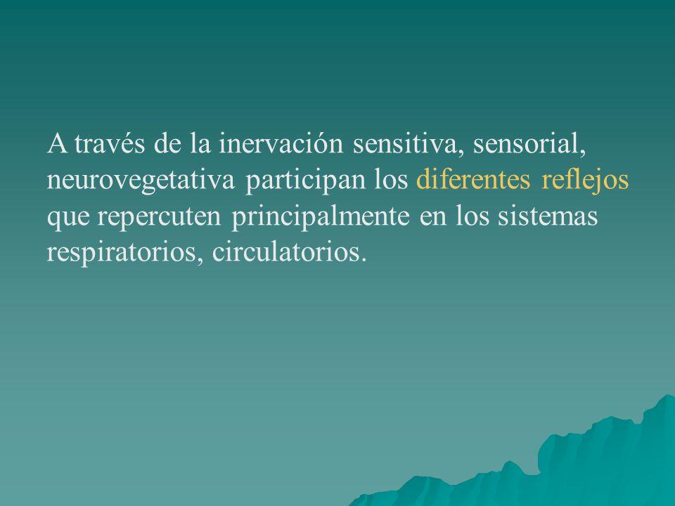 A través de la inervación sensitiva, sensorial, neurovegetativa participan los diferentes reflejos que repercuten principalmente en los sistemas respi
