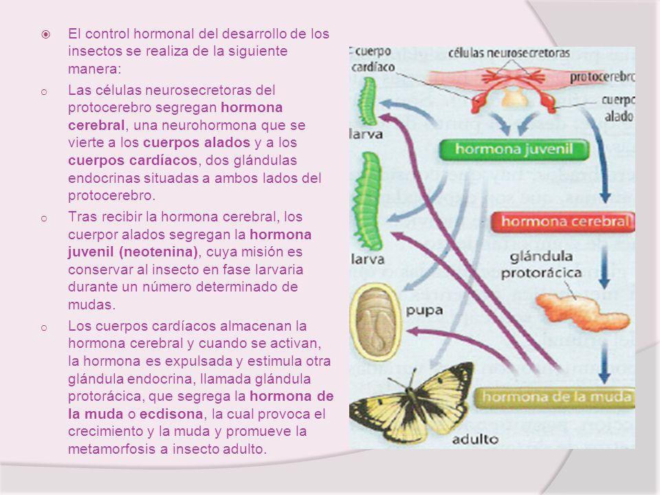 El control hormonal del desarrollo de los insectos se realiza de la siguiente manera: o Las células neurosecretoras del protocerebro segregan hormona