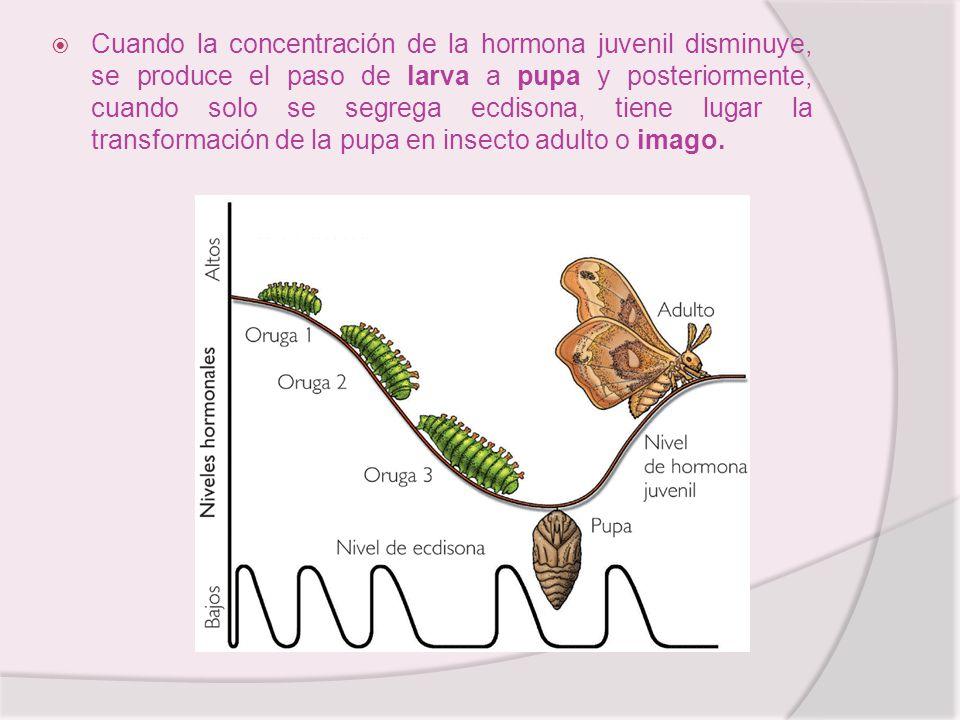 Cuando la concentración de la hormona juvenil disminuye, se produce el paso de larva a pupa y posteriormente, cuando solo se segrega ecdisona, tiene l
