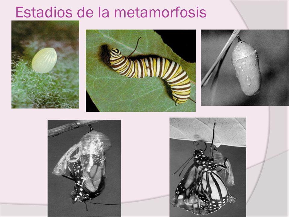 Estadios de la metamorfosis
