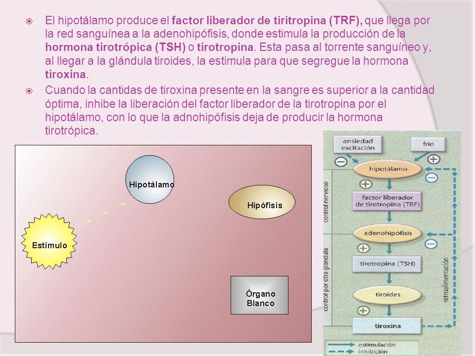 El hipotálamo produce el factor liberador de tiritropina (TRF), que llega por la red sanguínea a la adenohipófisis, donde estimula la producción de la