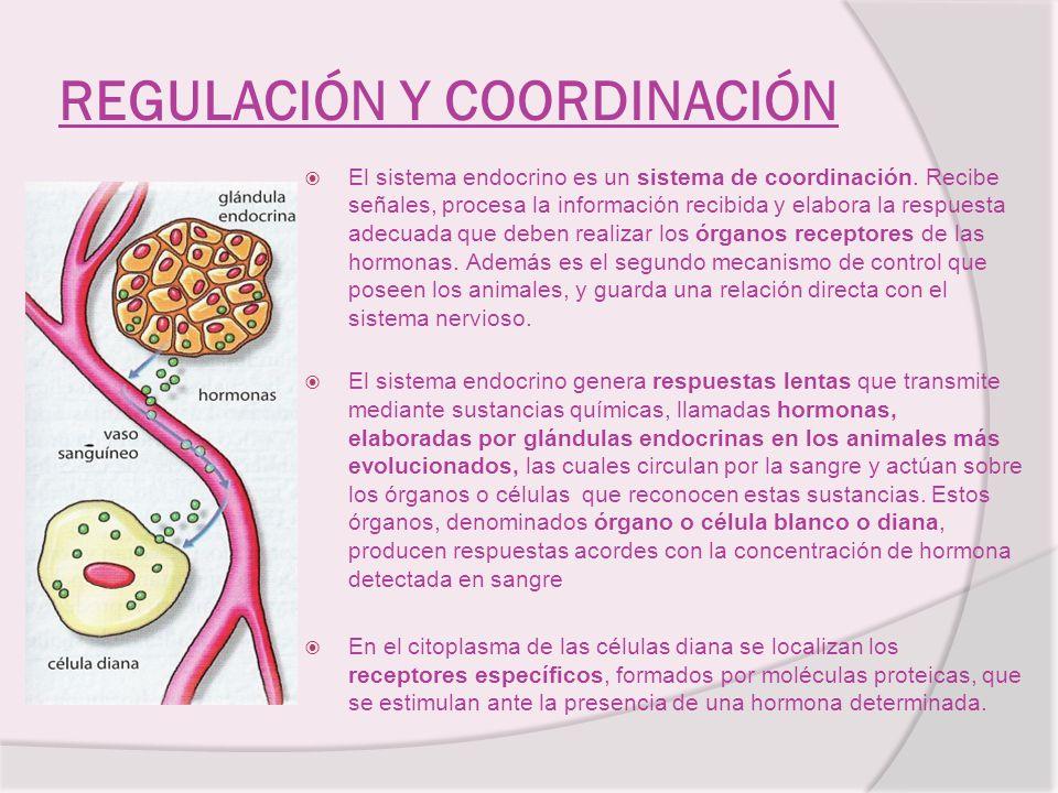 REGULACIÓN Y COORDINACIÓN El sistema endocrino es un sistema de coordinación. Recibe señales, procesa la información recibida y elabora la respuesta a