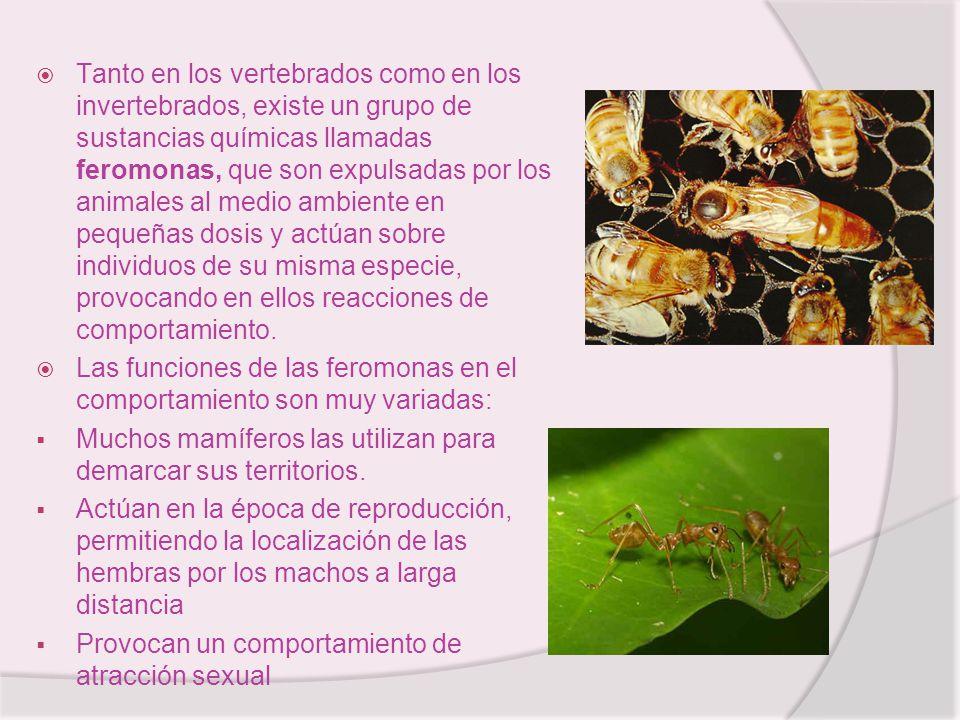 Tanto en los vertebrados como en los invertebrados, existe un grupo de sustancias químicas llamadas feromonas, que son expulsadas por los animales al