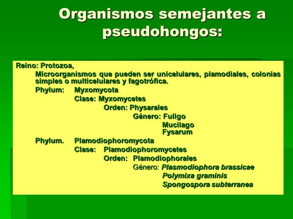 Organismos semejantes a pseudohongos: Reino: Protozoa, Microorganismos que pueden ser unicelulares, plamodiales, colonias simples o multicelulares y f