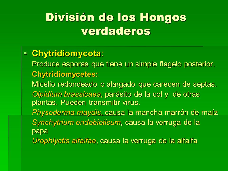 División de los Hongos verdaderos Chytridiomycota: Chytridiomycota: Produce esporas que tiene un simple flagelo posterior. Chytridiomycetes: Micelio r