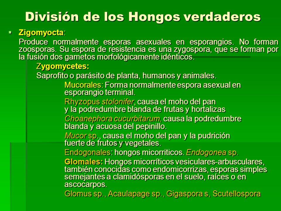 División de los Hongos verdaderos Zigomyocta: Zigomyocta: Produce normalmente esporas asexuales en esporangios. No forman zoosporas. Su espora de resi