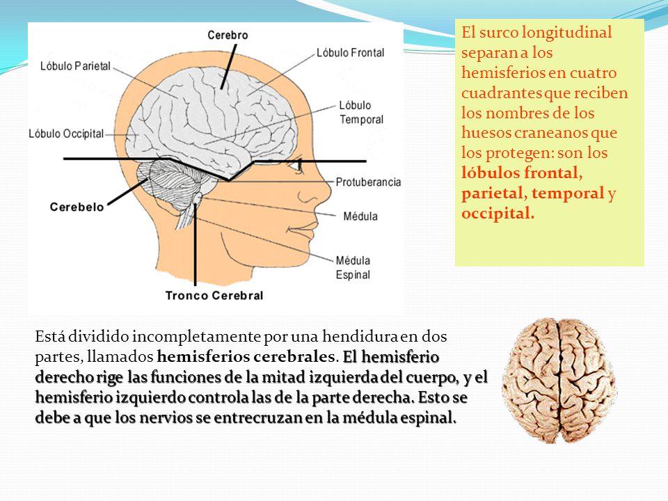 El hemisferio derecho rige las funciones de la mitad izquierda del cuerpo, y el hemisferio izquierdo controla las de la parte derecha. Esto se debe a