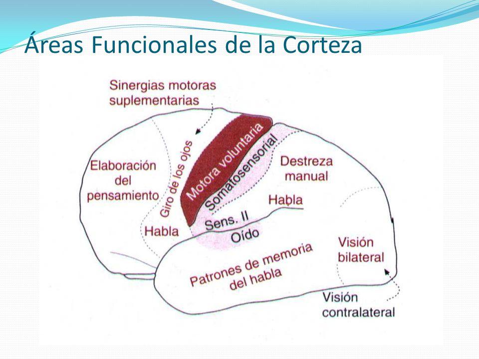 Áreas Funcionales de la Corteza