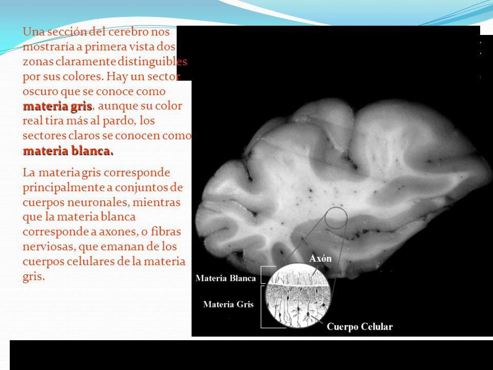 materia gris materia blanca. Una sección del cerebro nos mostraría a primera vista dos zonas claramente distinguibles por sus colores. Hay un sector o