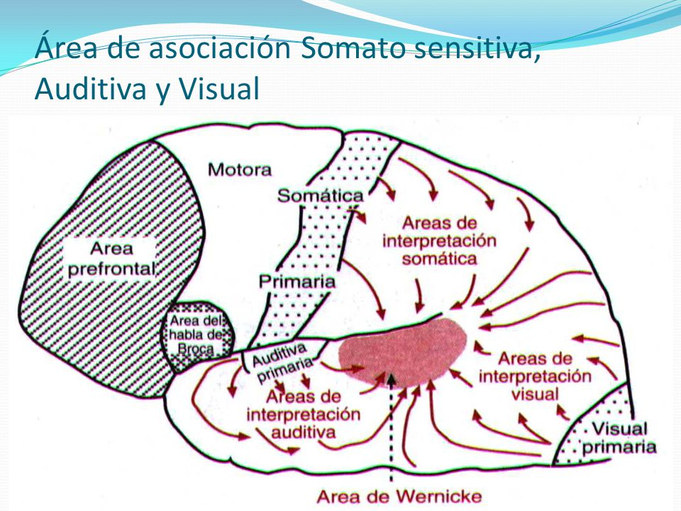 Área de asociación Somato sensitiva, Auditiva y Visual
