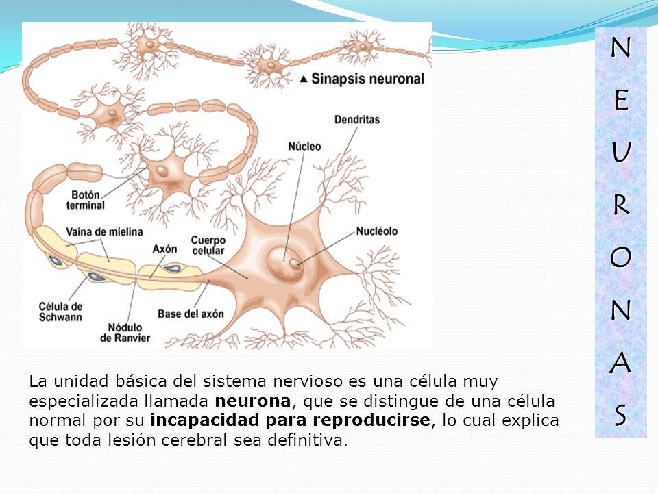 La unidad básica del sistema nervioso es una célula muy especializada llamada neurona, que se distingue de una célula normal por su incapacidad para r